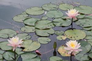 140804_Botanic_Garden_3Seerosen
