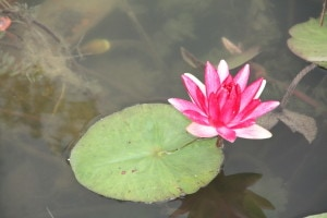 140804_Botanic_Garden_Seerose_pink